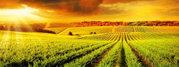 การประกันภัยพืชผล (Crop Insurance)